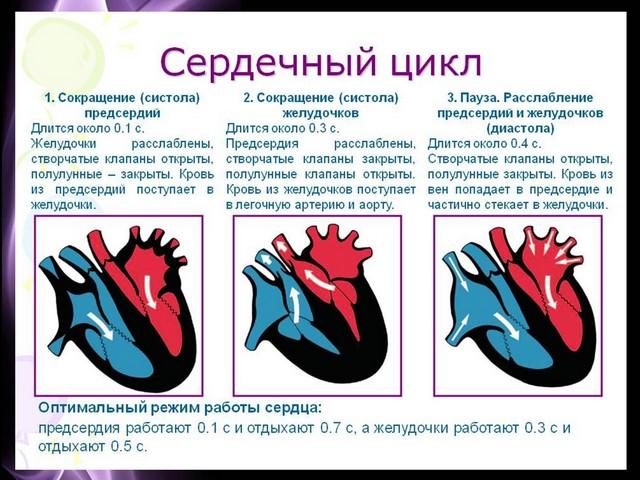Конспект урока по биологии 8 класс драгомилова строение и работа сердца